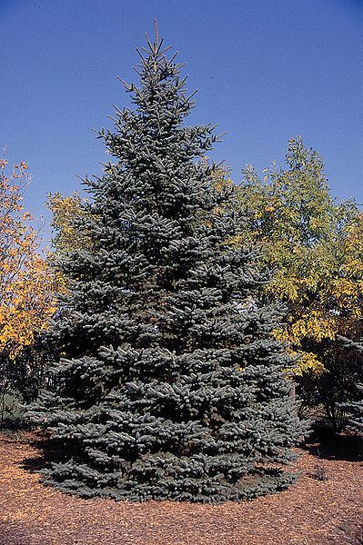 Featured Plant: The Beautiful Blue Spruce!