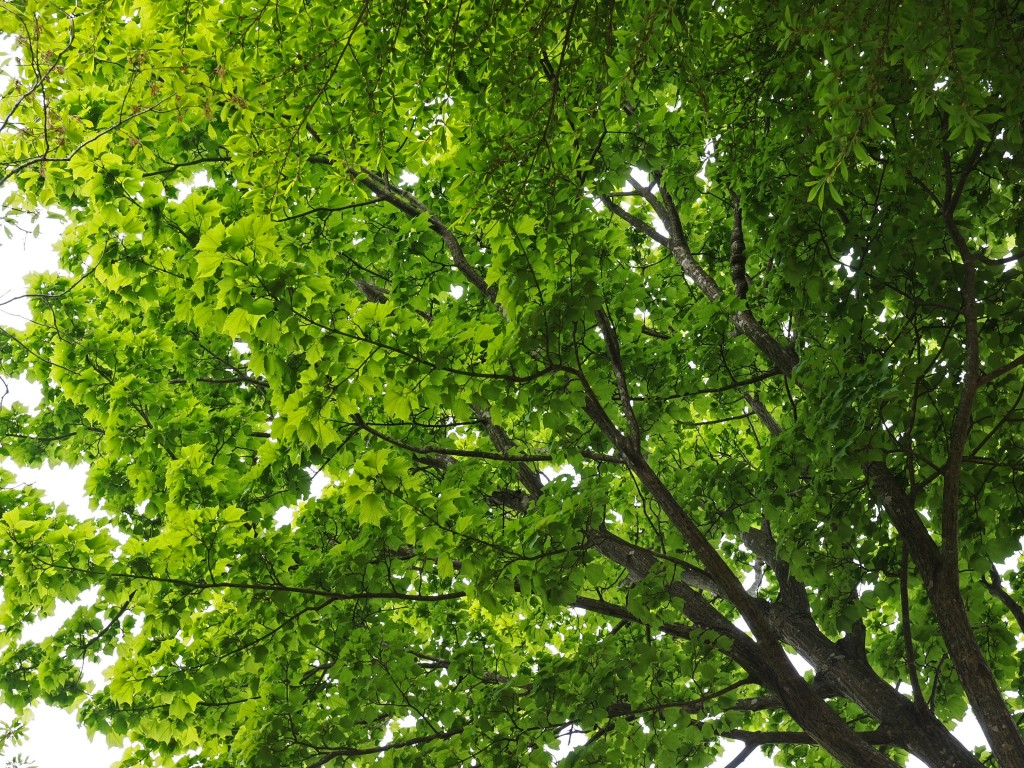 pruning maple trees