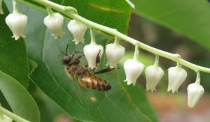 bee on oxydendrum arboreum flowers