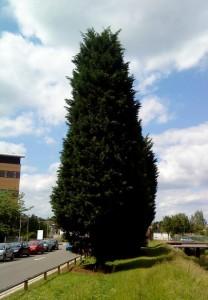 leyland cypress, Cupressus × leylandii