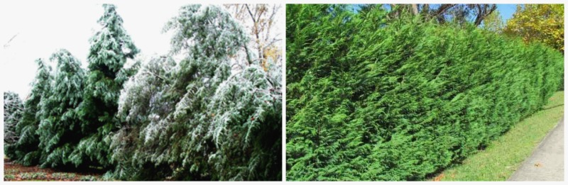 Leyland Cypress broken in snow and trimmed for hedge