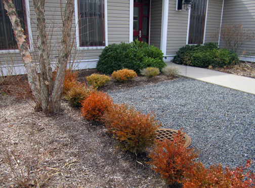 Wrong plant wrong location dead boxwoods