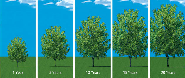 infographic tree growth over time