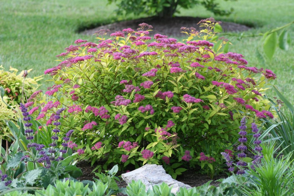 spirea-japonica-golden_elf