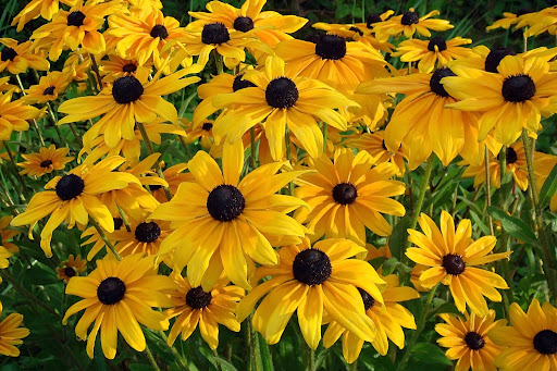 Image of a bunch of bright yellow Rudbeckia hirta or Brown-Eyed Susan flower, a great choice out of many colorful fall blooming perennials.
