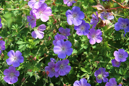 Image of a purple Geranium 'Rozanne' or Rozanne Cranesbill Geranium, just one many colorful fall blooming perennials to choose from.
